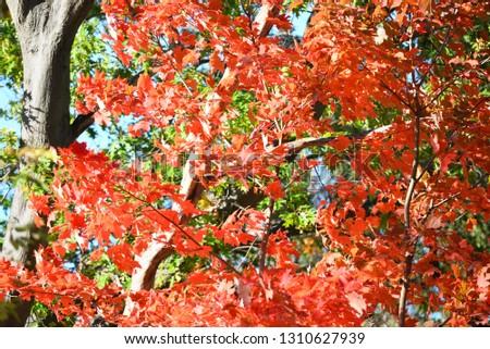 maple leaves closeup #1310627939