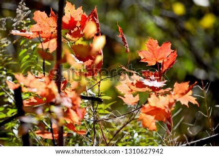 maple leaves closeup #1310627942