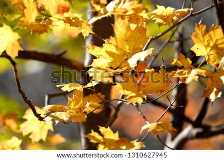 maple leaves closeup #1310627945