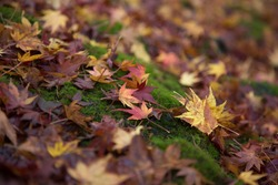 Maple leaves drop on the ground in fall or autumn, changing season.