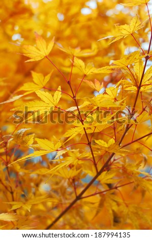 Maple leaves during autumn