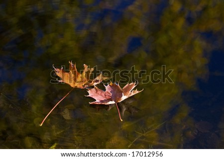 Maple leaves float in the water - stock photo