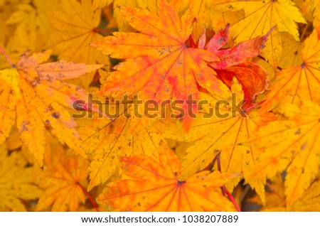 Maple leaves in autumn #1038207889