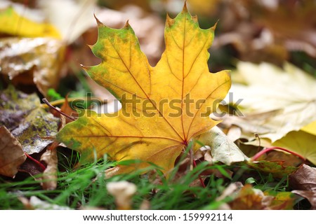 Maple leaves in park, close-up