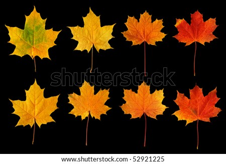 Maple leaves isolated on black