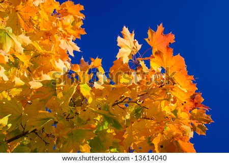 Maple leaves on a background of the blue sky