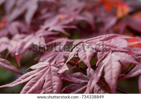maple leaves with blur gradient #734338849