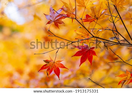 Maple of bright autumn leaves Photo stock ©