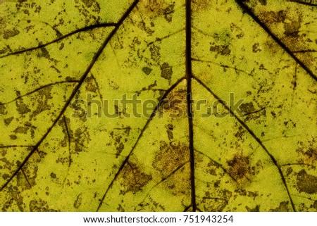 Maple or oak leaf with leaf veins #751943254