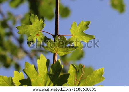 maple or sycamore leaves with the sun behind in early autumn or fall in Italy Latin acer opalus or acer pseudoplatanus from an Italian maple