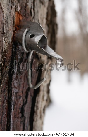 Maple sap droplet flowing from tap in tree to produce maple syrup
