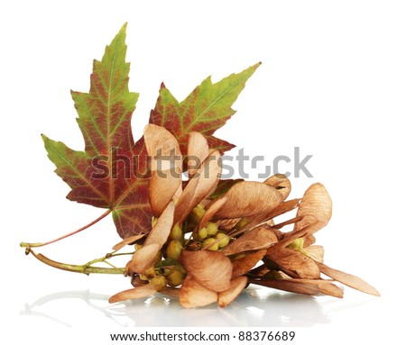 maple seed and autumn leaf isolated on white