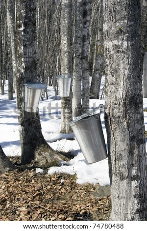 Maple sugar processing tapping trees collecting sap