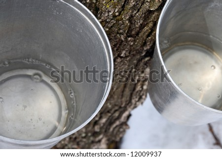 Maple syrup production. Maple sap in buckets attached to a tree.