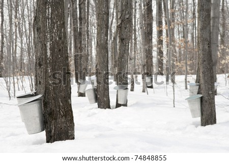 Maple syrup production. Pails used to collect sap of maple trees to produce maple syrup.