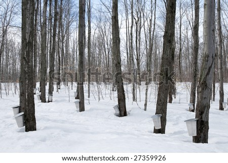 Maple syrup season in Quebec, Canada. Traditional way of collecting maple sap.