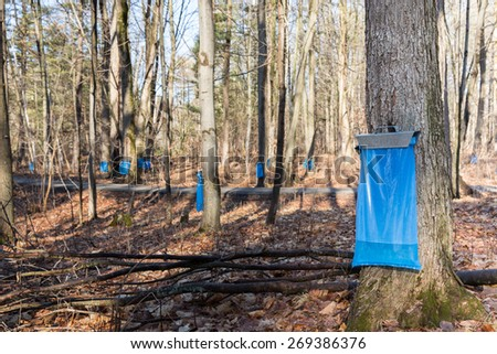 Maple Syrup Tapping - Tapping maple trees in the Spring to make maple syrup.  Blue collection bags collecting natural food using a traditional process.