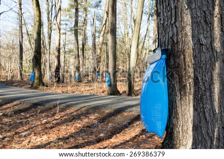 Maple Syrup Tapping - Tapping maple trees in the Spring to make maple syrup.  Selective focus on the bulging blue collection bag in the foreground.