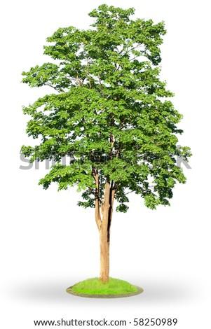 Maple tree (Acer platanoides) isolated on white background