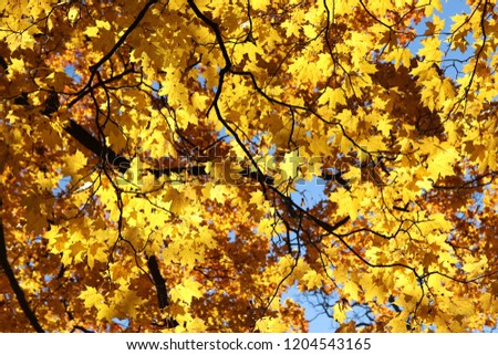 Maple tree branches with bright yellow leaves against clear blue sky, autumn. #1204543165