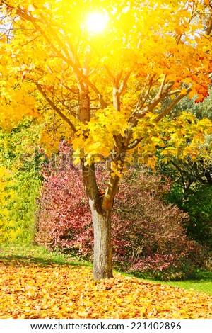 Maple tree in the sun