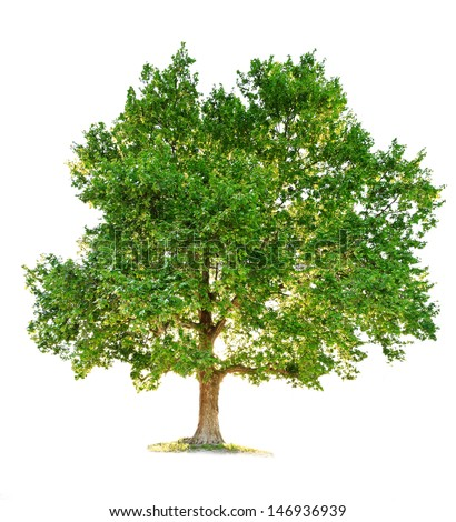 maple tree isolated on white background