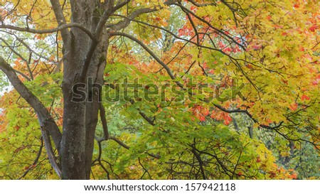 maple tree lush with colorful leaves, autumn theme