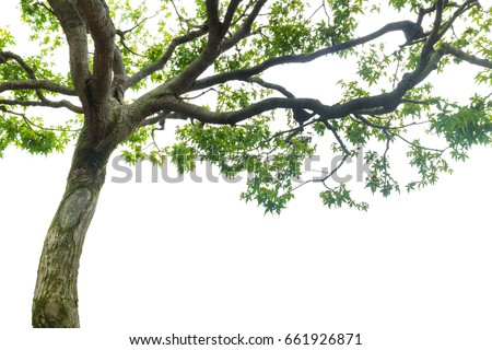 maple tree on white background, copy space