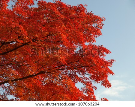 Maple tree turn its leaves to red in autumn at Kamakura city, Japan
