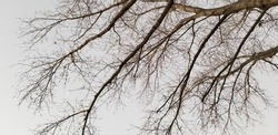 Maple tree with bare branches in winter