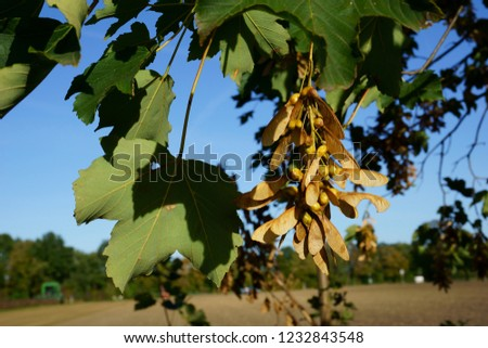 maple tree with nose winder                 - Shutterstock ID 1232843548