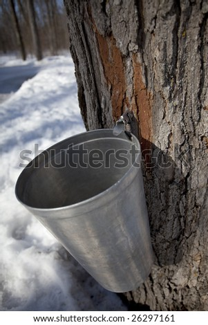 maple tree with tap and bucket for harvesting sap (maple syrup production)