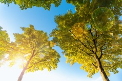 Maple trees in sunlight against blue sky - view from above with lens flare