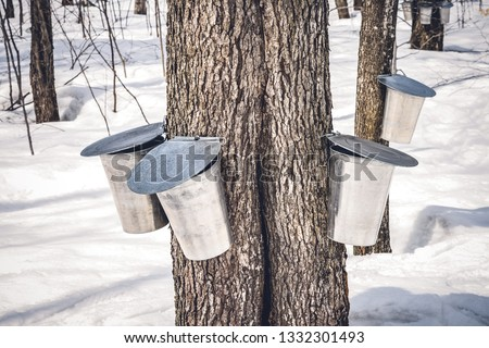 Maple trees with buckets attached to them to collect sap. Maple syrup production season in Quebec, Canada.