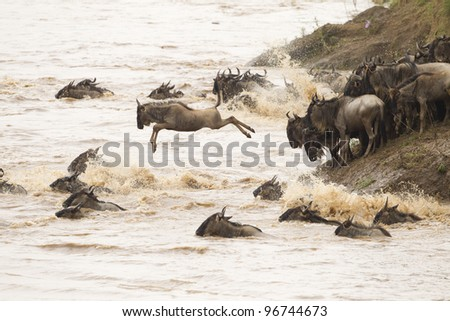 Mara River crossing in Masai Mara Reserve, Kenya. Wildebeest.