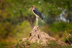 Marabou stork, Leptoptilos crumenifer, evening light, Okavango delta, Botswana in Africa. Wildlife, animal in the wild nature. Birds sitting on the termite mound nest hill.