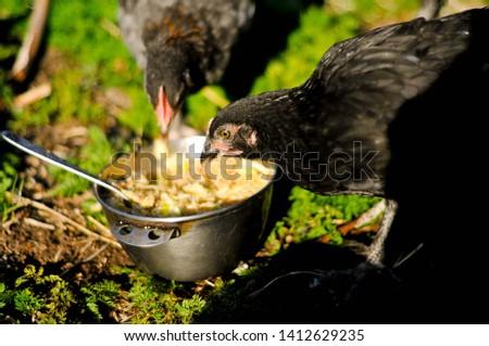 Maran hens in the garden #1412629235