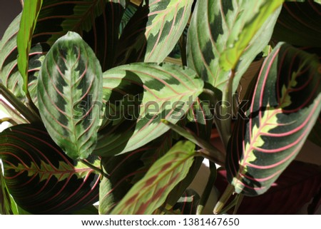 Maranta. Beautiful prayer plant. Tropical plant