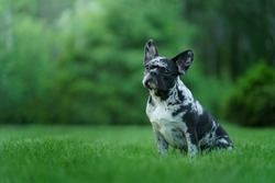 Marble French Bulldog. Rare color of the dog. puppy on the grass. pet outdoors