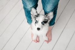 Marble puppy border collie stands on a owner feet