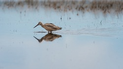 Marbled Godwit Bird Wading in a Shallow Pond Protected Habitat Searching for Food. Beautiful Reflection in Clear Still Water