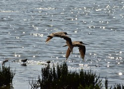 Marbled Godwit birds flying above the water of Elkhorn Slough in Moss Landing Wildlife Area in California.