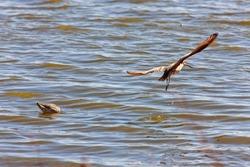 Marbled Godwit in Water Northern Saskatchewan Canada