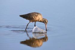 Marbled Godwit (limosa fedoa) foraging in a trashy tidal pool