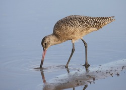 Marbled Godwit (limosa fedoa) foraging in shallow water