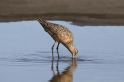 Marbled Godwit (limosa fedoa) probing for food in shallow water