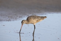 Marbled Godwit (limosa fedoa) probing in shallow water