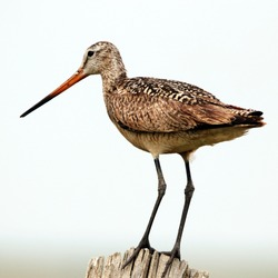 Marbled Godwit on a Fence Post