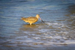 Marbled Godwit seaching for food on Hermosa Beach California USA
