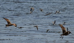 Marbled Godwits and Sandpiper birds taking flight above Elkhorn Slough within Moss Landing Wildlife Area in California.